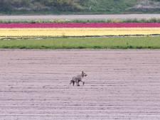 West-Brabantse schapenhouders bang dat wolf slachtoffers maakt: 'Goede habitat om te overleven hier'
