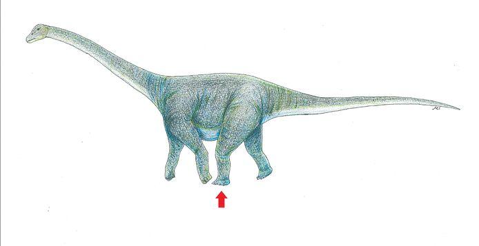 De afdruk is vermoedelijk van een Titanosaurus