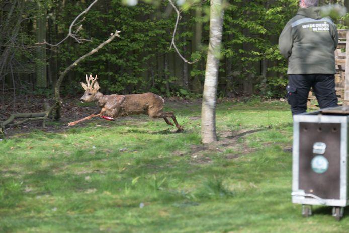 Het reetje rende met hoge snelheid rond in de tuin. Door zijn behendigheid slaagden de mannen van de dierenbescherming er niet in het dier te vangen.