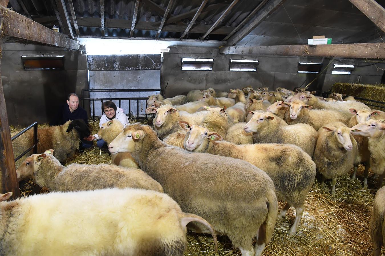 Ruud en Coriene Timmermans van De Schaepsdyck in Gilze bij de schapen. Hoewel er wat sneeuw ligt in de stal, hebben de schapen het niet koud, dankzij hun dikke vacht.