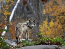 Wolf gesignaleerd op de hei nabij Ede, schapen terug naar de kooi
