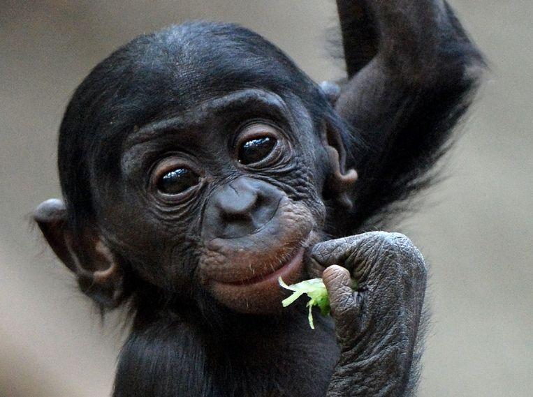 Een babybonobo. Beeld AFP