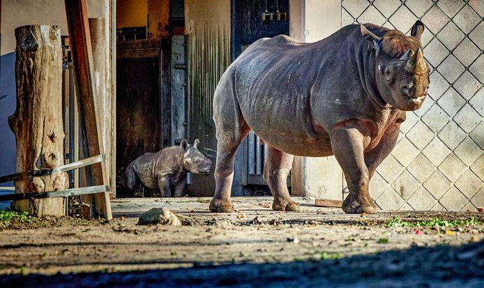 Zwarte neushoorns in hun verblijf in Blijdorp. ,,Het blijven gewoon hokken'', vindt de SP.
