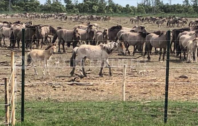 Konikpaarden Oostvaardersplassen, juli 2019