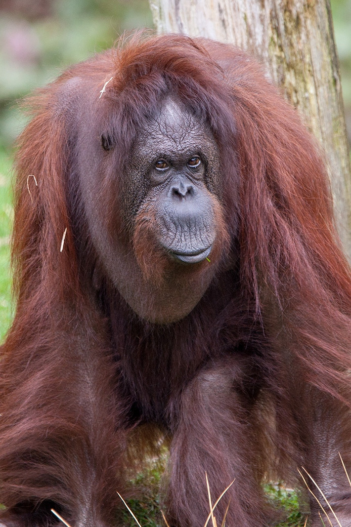 Radja de oudste orang-oetan van de Apenheul is overleden