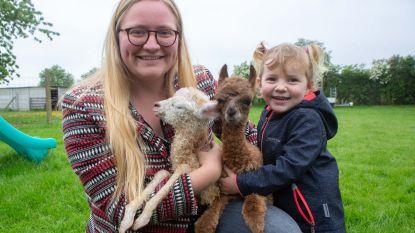 Schattig in het kwadraat: Milou en Filou, de bijzondere alpaca-tweeling