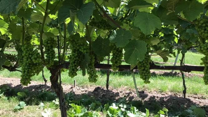 Franse wijnbouwers vrezen misoogst