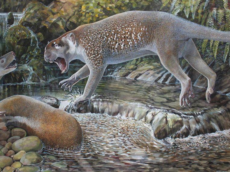 Terwijl de grotere buidelleeuwen met hun 130 kilo een bedreiging kunnen geweest zijn voor onze voorouders, heeft deze oudere soort het formaat van een hond, met een lichaamsgewicht van om en bij de 23 kilo.