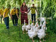 Deventer plaagvogels worden tamme eendjes in handen van ganzenfluisteraar Chögyal