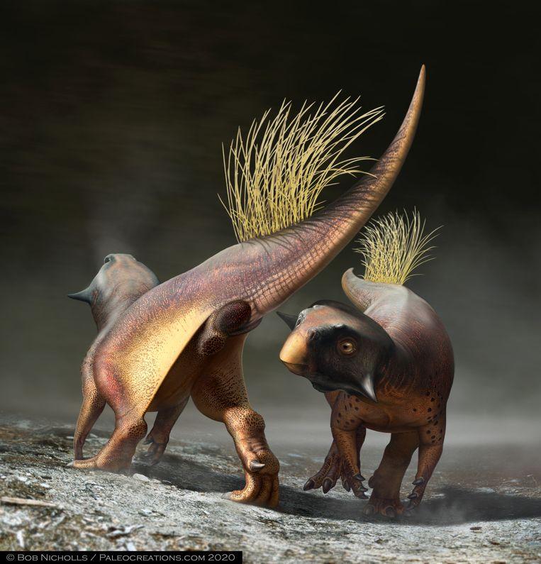Opvallend zijn de randen van de cloaca, die ophopingen van pigment bevatten. Dit duidt op de mogelijkheid van de dinosaurus om aan het andere geslacht te communiceren dat hij of zij interesse heeft om voort te planten, vergelijkbaar met hoe dit gaat bij de rode billen van bavianen.    Beeld Bob Nicholls / Paleocreations.com