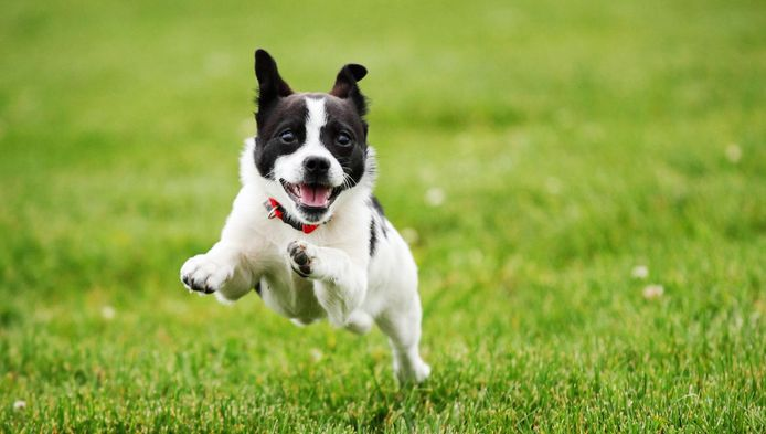 Met de list dat uw hond is ontsnapt, verschaft een dief zich ongevraagd toegang tot uw woning.