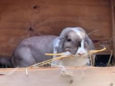 Kwajongens zetten 's nachts alle konijnenhokken van fokkerij open: 'O nee, alle vrouwtjes zijn nu zwanger'