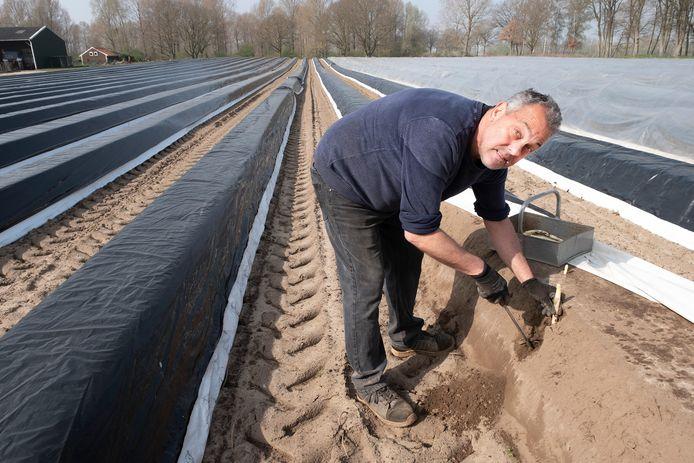 Frans Vullings uit Heijen is op zijn aspergeveld bezig om asperges te steken. De vraag is groter dan het aanbod.