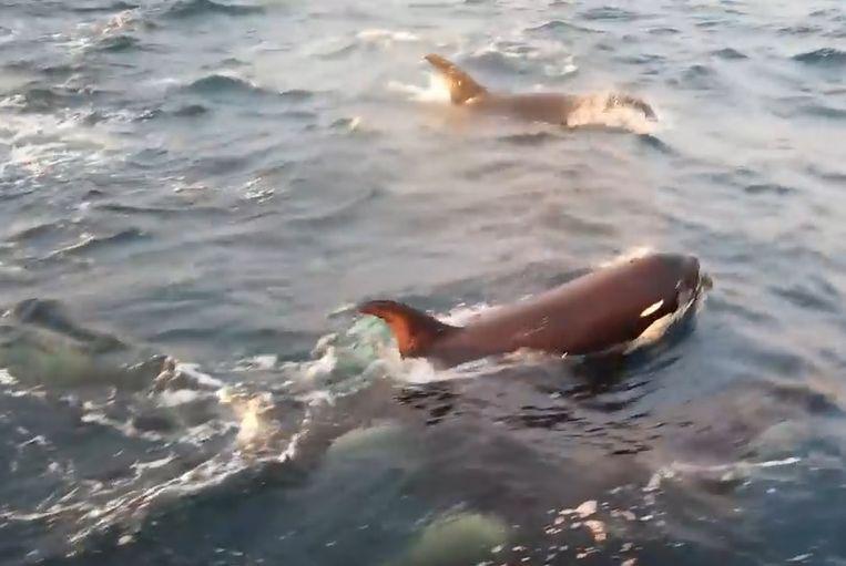 Wetenschappers vinden nieuwe orkasoort in zuidelijke oceaan