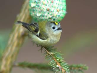 Vogelgriep: Natuurpunt roept op om voorzichtig te zijn met voederen van tuinvogels