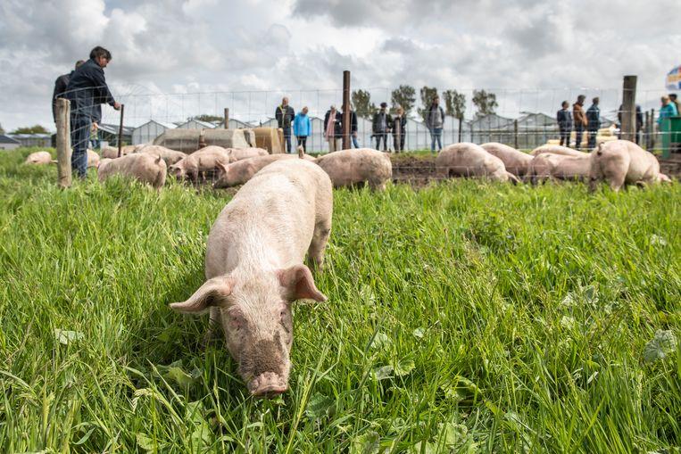 Afgelopen week mochten ze er acclimatiseren, zondag werden dertig 'circulaire' varkens losgelaten in het weiland van bioboer De Herkomst. Beeld Dingena Mol