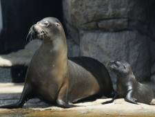 Aandoenlijk: jonge zeeleeuwtjes krijgen zwemles van hun moeder