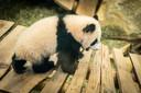 In Ouwehands Dierenpark is baby-panda Fan Xing voor het eerst zichtbaar voor het publiek.