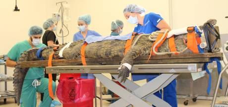 Un crocodile de 150 kg sur le billard après avoir avalé la chaussure d'un touriste