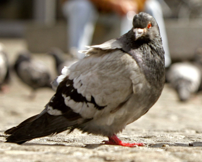 Een duif poept gemiddeld 14 kilo per jaar.