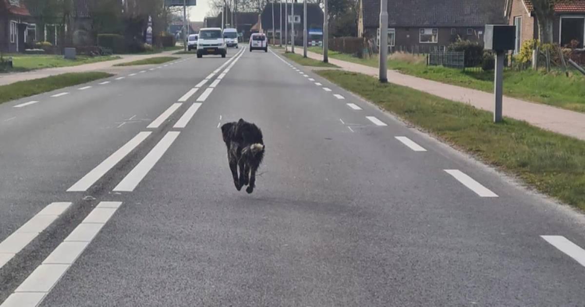Fantastisch nieuws, hond Sky uit Aduard van de zorgboerderij Hoeve Paradij gesignaleerd in Steenwijk, mocht u de hond zien tip dan de dierenambulance of politie #Sky #Steenwijk #Aduard .