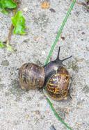 De tweeslachtige segrijnslakken bevruchten elkaar.