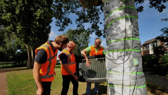 Dordtse proef kan doorbraak zijn in landelijke aanpak: koortstherapie moet zieke kastanjebomen redden