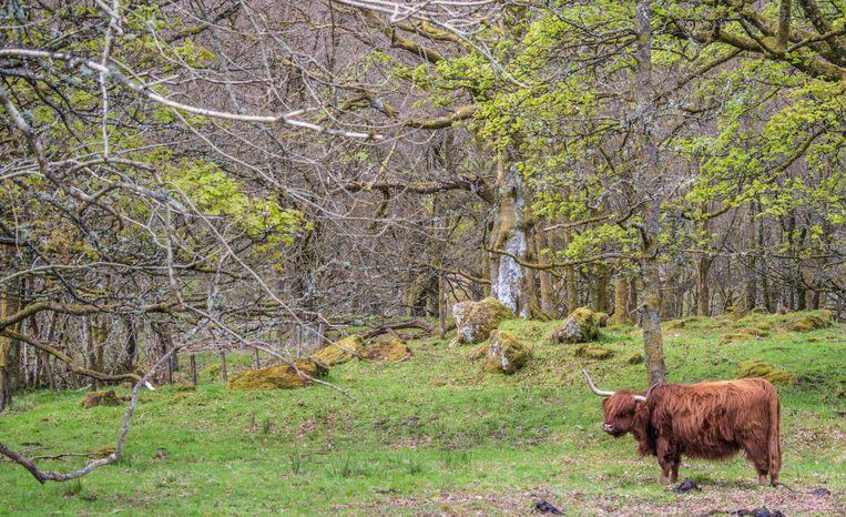 Het vee graast langs Loch Lomond Beeld David Bronkhorst en Chantal van Wees