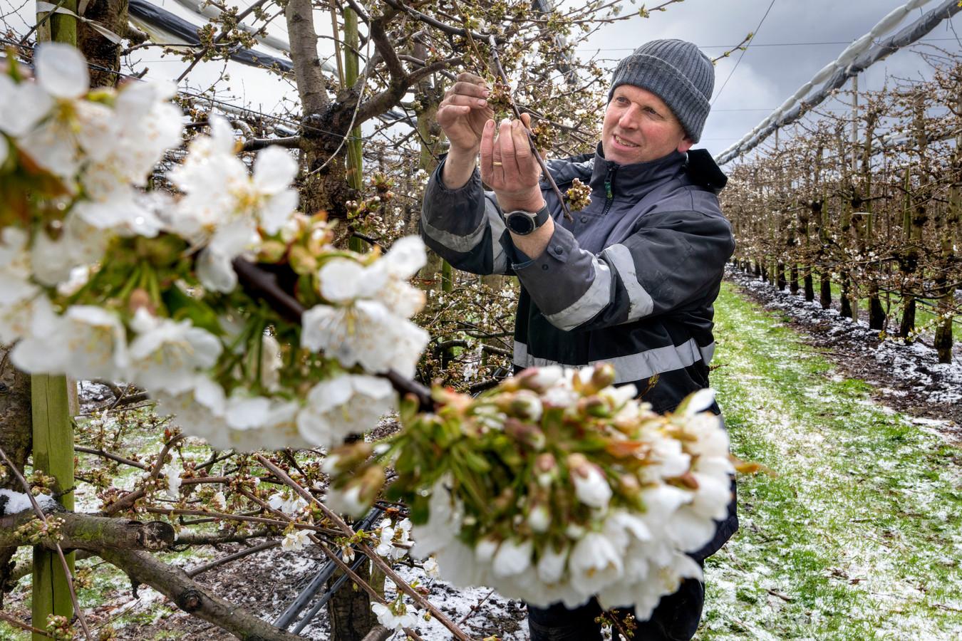 Robert Oostveen, broer van Peter Oostveen, onderzoekt de bloesem van de kersen in een van hun boomgaarden in Nieuwendijk.