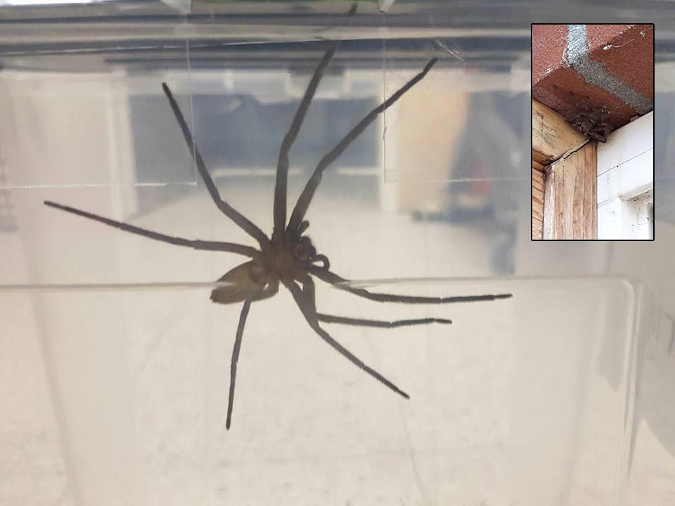 De jachtspin is gevangen en in een bakje gezet. Inzet: de spin zoals deze werd gevonden in het magazijn van de winkel.