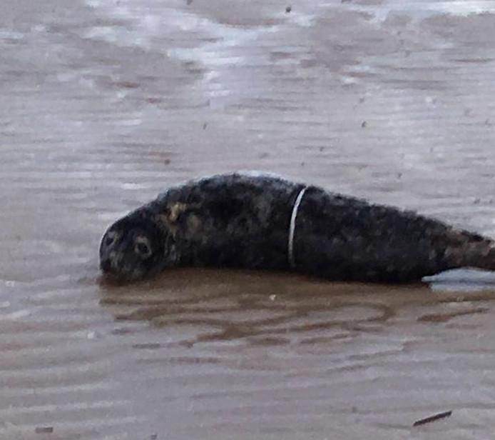De zeehond met plastic strapband om