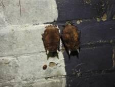 Na lammetje bij Dow, nu ook acht zeldzame grootoorvleermuizen ontdekt bij Yara