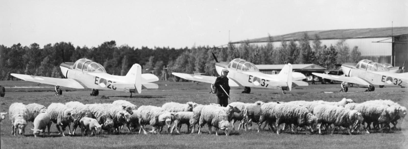 Een schaapsherder hoedt zijn kudde op Vliegbasis Woensdrecht in 1964. Het voormalige bos- en heidegebied werd in de jaren 30 aanvankelijk ontgonnen voor de landbouw.