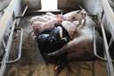 De biggen in de stal staan rond de spenen van hun moeder.