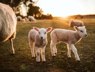 Onderzoekers KU Leuven bereiken doorbraak bij immuuntherapie... dankzij schapen