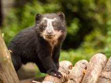 Trois oursons nés dans les Pyrénées, une première depuis 50 ans