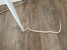 'Bizar toeval': wéér treft iemand een slang aan in bed