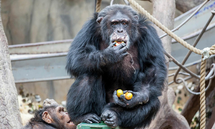 Julius, de 39-jarige chimpansee van het Noorse Kristiansand Dyrepark.