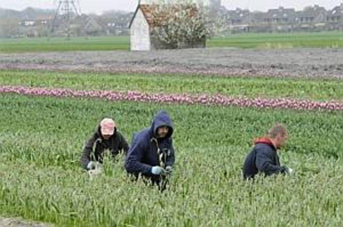 Oost-Europese arbeidsmigranten aan het werk in Nederland.