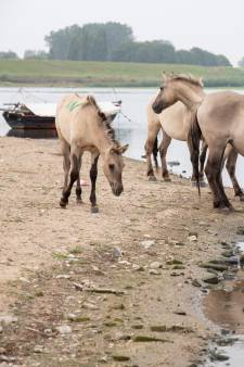 Ook te veel dioxine in 'oervlees' konikpaarden en Schotse hooglanders van Lauwersmeer