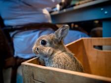 Besmettelijke konijnenziekte maakt tientallen slachtoffers in West-Brabant: zo mankeren ze niks, zo zijn ze dood...