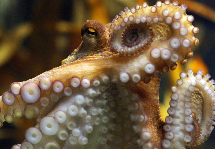 Octopus Paul werd wereldberoemd tijdens het WK voetbal in Zuid-Afrika in 2010 door zijn pronostieken.
