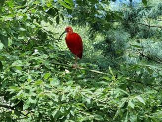 Rode Ibis gespot in Zele