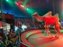 Ook de kamelen maakten indruk