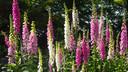 Purple and white Foxglove in bloom vingerhoetskruid
