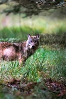 Wolvin op Midden-Veluwe na drie jaar vermoedelijk gespot met mannetje