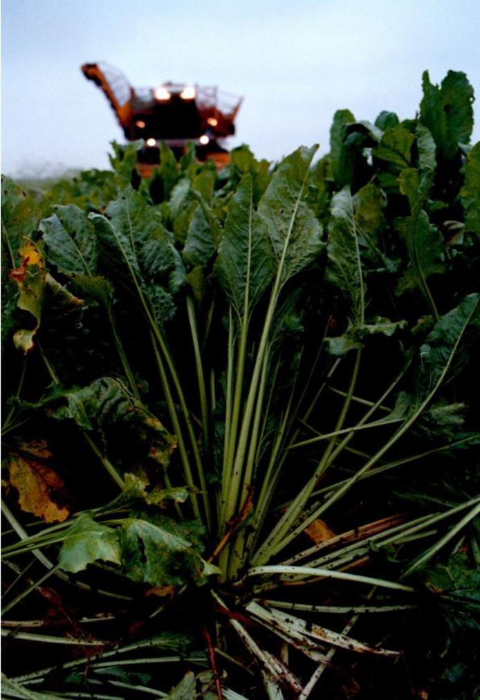 Bietenblad blijft normaal op het land liggen. Suiker Unie heeft een manier gevonden om het eiwit eruit te halen.