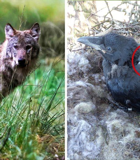 Werken Veluwse raven samen met de wolf? Onderzoek met GPS-zenders moet dat uitwijzen
