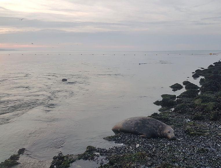 Op de voorgrond de stervende zeehond, erachter de dieren die hem gezelschap komen bieden.