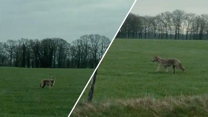 De wolf slentert door Rossum